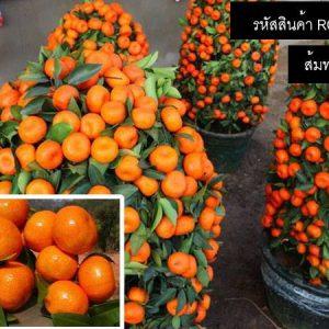 ส้มทรงพุ่ม