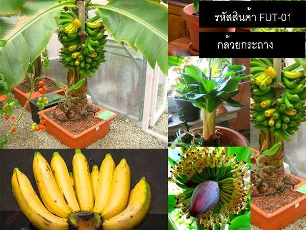 เมล็ดพันธุ์กล้วยกระถาง