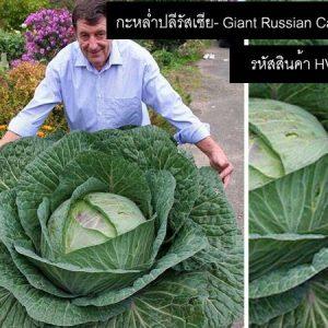 เมล็ดพันธุ์กะหล่ำปลีรัสเซีย