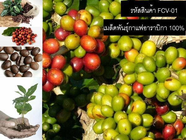 วิธีเพาะเมล็ดพันธุ์กาแฟ เพาะเมล็ดพันธุ์อาราบิก้า และ เพาะเมล็ดพันธุ์กาแฟโรบัสต้า