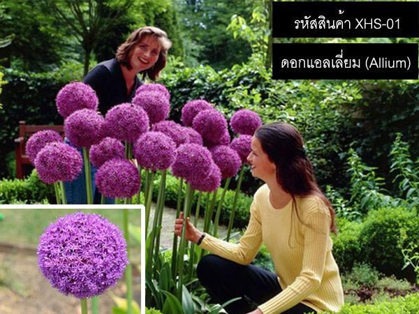 วิธีปลูกดอกแอลเลี่ยม (Allium)