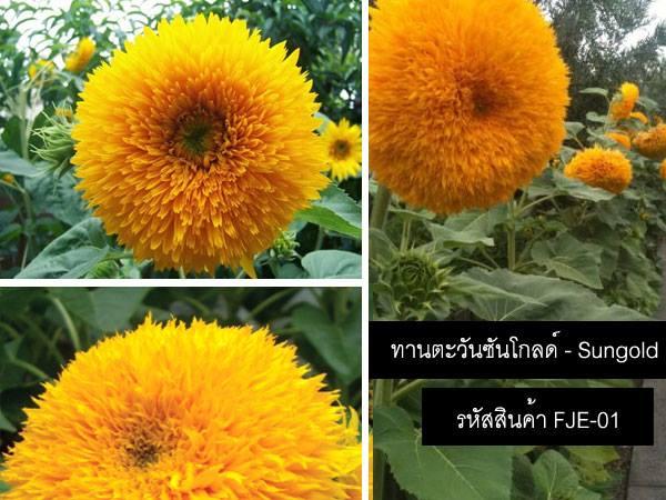 เมล็ดพันธุ์ทานตะวันซันโกลด์ - Sungold Sunflower