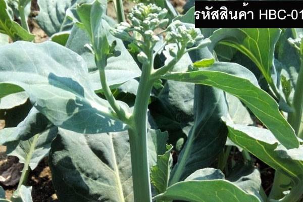 เมล็ดพันธุ์ผักคะน้าฮ่องกง