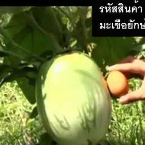 เมล็ดพันธุ์ผักมะเขือยักษ์