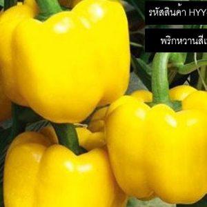 เมล็ดพันธุ์พริกหวานสีเหลือง