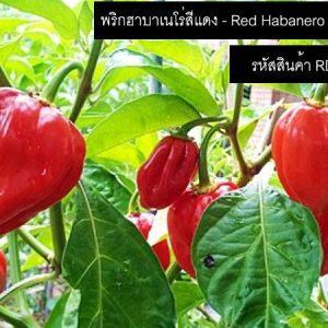 เมล็ดพันธุ์พริกฮาบาเนโร่สีแดง