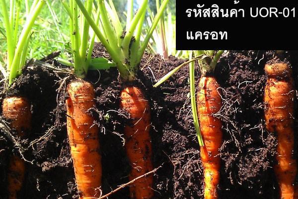 เมล็ดพันธุ์แครอท