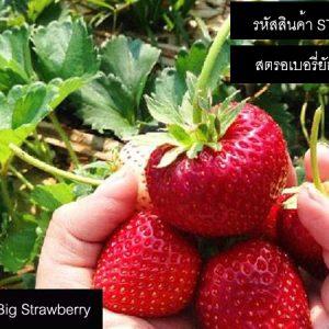 เมล็ดสตรอเบอรี่ Super Big Strawberry