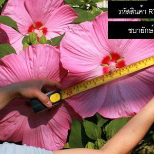 เมล็ดพันธุ์ดอกชบายักษ์ - Giant Hibiscus Flower Seeds