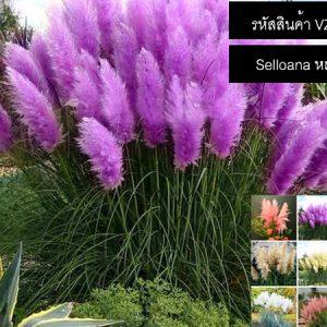 เมล็ดพันธุ์ Selloana หญ้าสี