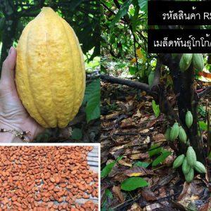 เมล็ดพันธุ์โกโก้และต้นกล้าโกโก้