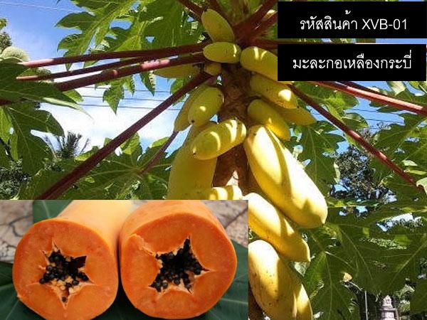 เมล็ดพันธุ์มะละกอเหลืองกระบี่